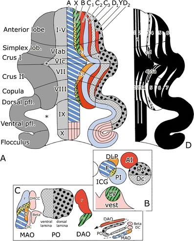 Figure 4- Zonal Organization and continuity between A) cerebellar cortex, B) cerebellar deep nuclei, and C) inferior olive sub nuclei (http://goo.gl/8FpX0)