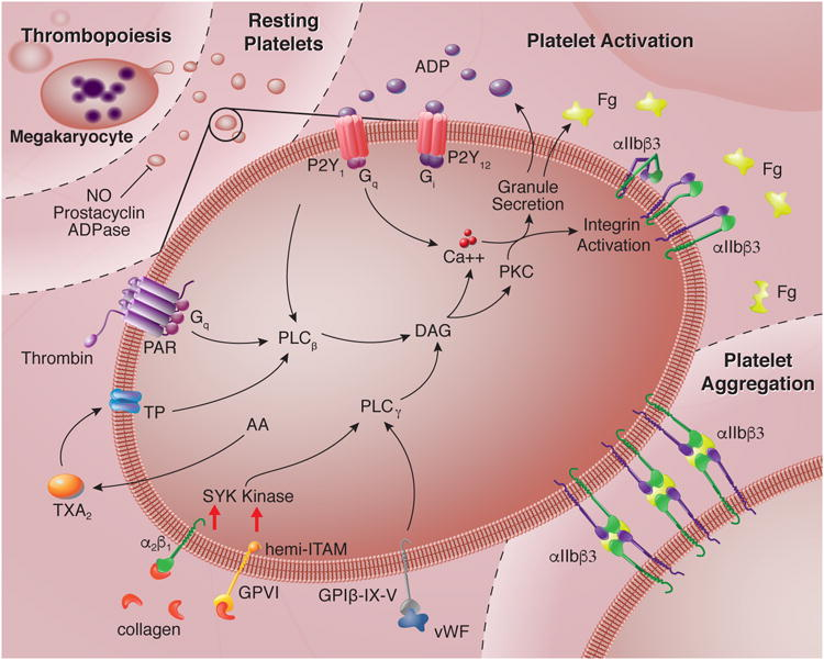 Translational Implications Of Platelets As Vascular First Responders Abstract Europe Pmc