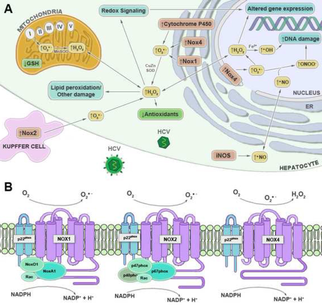 Oxidative Stress And Hepatic Nox Proteins In Chronic Hepatitis C And Hepatocellular Carcinoma Abstract Europe Pmc Here are the top reasons for this error and it's fixes. hepatocellular carcinoma
