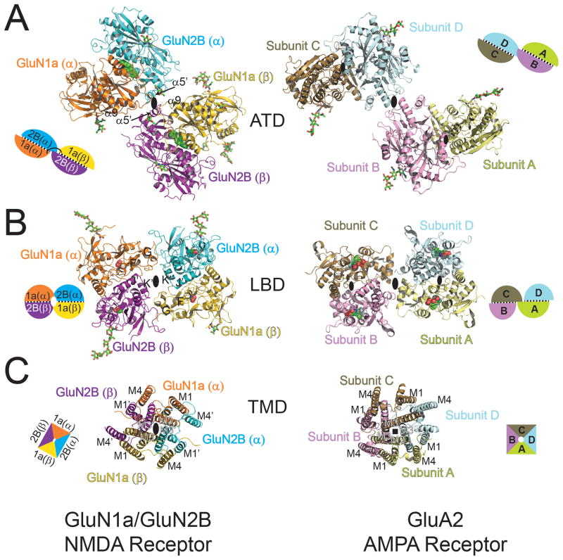 Crystal Structure Of A Heterotetrameric Nmda Receptor Ion Channel Abstract Europe Pmc