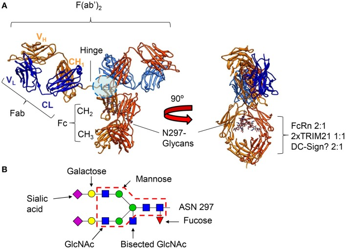 expedición Pavimentación Qué  IgG subclasses and allotypes: from structure to effector functions. -  Abstract - Europe PMC
