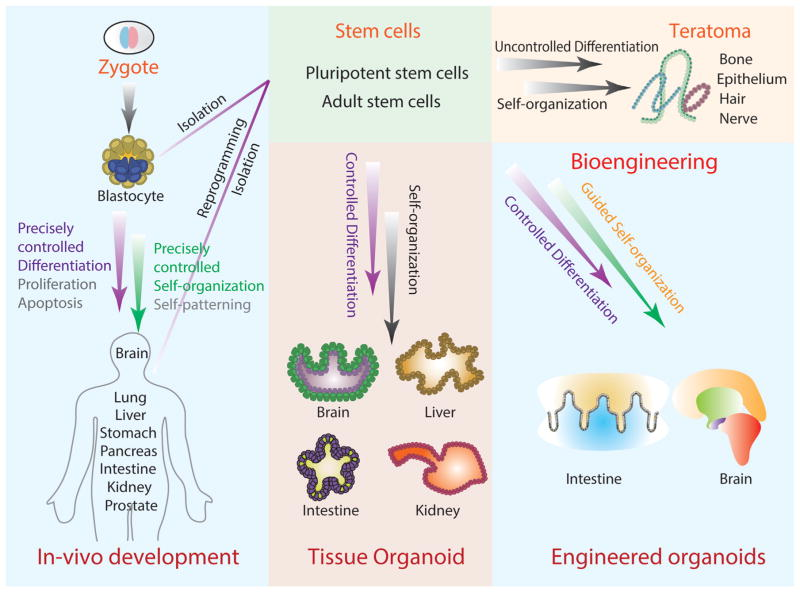 Engineering Stem Cell Organoids Abstract Europe Pmc
