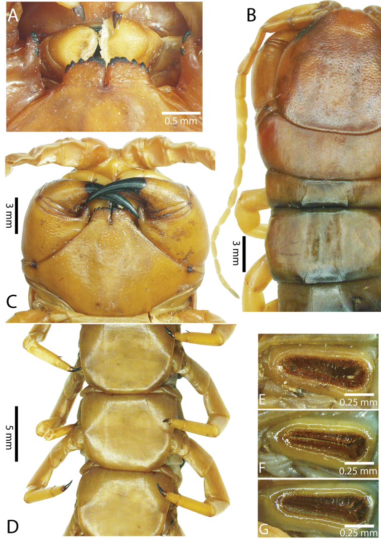 A Taxonomic Review Of The Centipede Genus Scolopendra Linnaeus