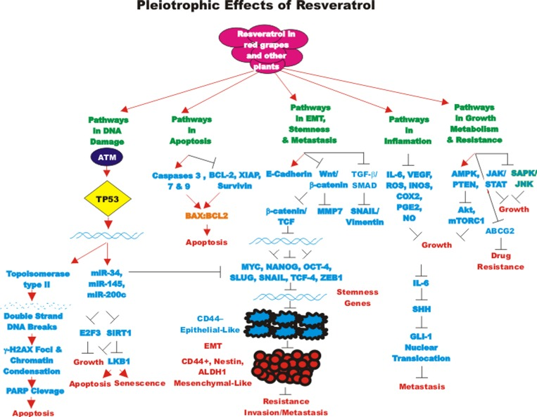 Effects Of Resveratrol Curcumin Berberine And Other Nutraceuticals On Aging Cancer Development Cancer Stem Cells And Micrornas Abstract Europe Pmc