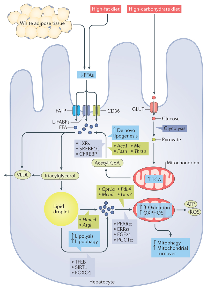 Direct Effects Of Thyroid Hormones On Hepatic Lipid Metabolism