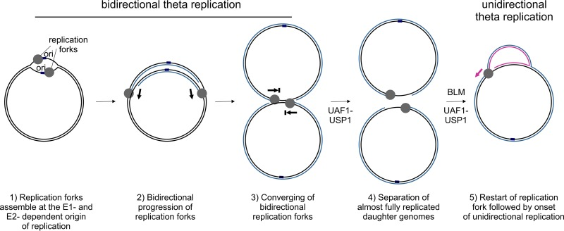 Interaction Of The Human Papillomavirus E1 Helicase With Uaf1 Usp1 Promotes Unidirectional Theta Replication Of Viral Genomes Abstract Europe Pmc