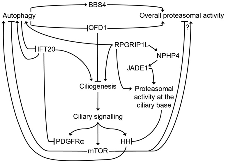The Role Of Primary Cilia In The Crosstalk Between The Ubiquitin