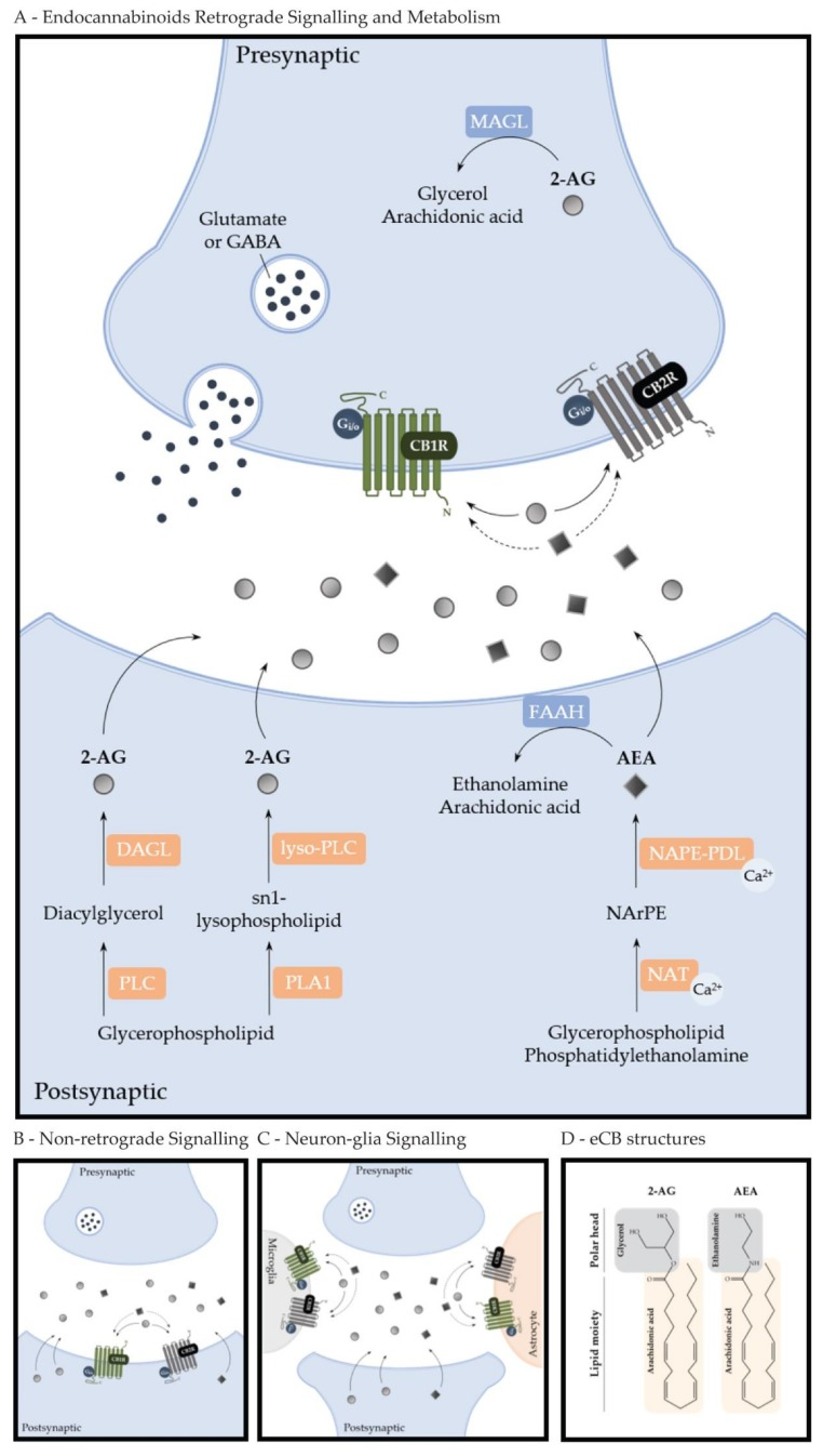 Cannabinoid Actions On Neural Stem Cells Implications For