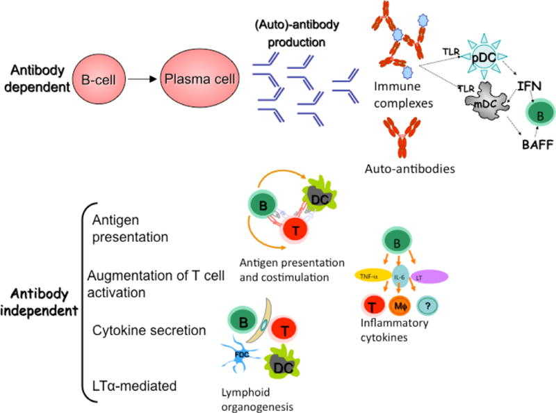 B Cell Biology And Related Therapies In Systemic Lupus