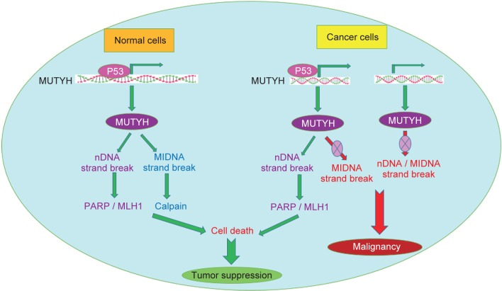 Epigenetic Profiling Of Mutyh Klf6 Wnt1 And Klf4 Genes In Carcinogenesis And Tumorigenesis Of Colorectal Cancer Abstract Europe Pmc