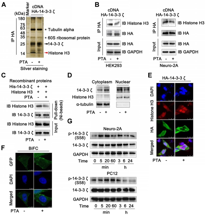 Allosteric Regulation Of Protein 14 3 3z Scaffold By Small